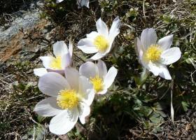 2012-05-11-280-poniklec-jarny-jeden-z-najvzacnejsich-tatranskych-kvetov-hruby-vrch.jpg